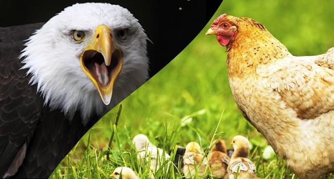 """Novamente a """"águia e a galinha""""…."""